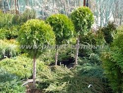 ассортимент растений – туи на штамбе, сформированные в виде шара
