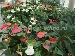 ассортимент растений для зимних садов и офисов – белый и красный антриум, оливы, кумкват, цикас