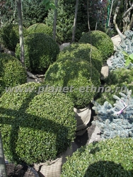 ассортимент растений – формованный в виде шаров самшит