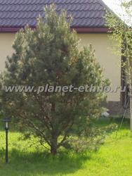 посадка крупномерных деревьев – сосна обыкновенная