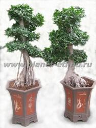 бонсай из тропических растений