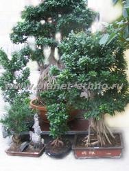 купить бонсай из тропических растений можно в садовых центрах