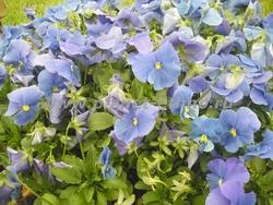цветники и клумбы – виола гибридная