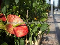фитодизайн помещений – озеленение зимнего сада с использованием овощных растений (болгарский перец)
