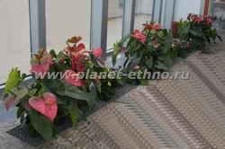 цветочное оформление помещений – антуриум в интерьере зимнего сада