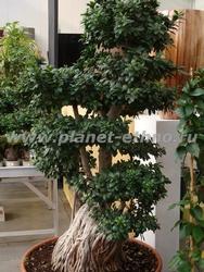 озеленение офисов – использование бонсаи из тропических растений