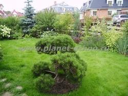 садовый бонсай из сосны горной