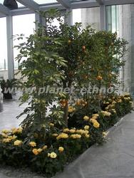 устройство зимнего сада - группа из роз и мандаринов