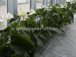 озеленение зимних садов – белые антуриумы