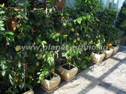 оформление зимнего сада цитрусовыми растениями в индивидуальных кашпо